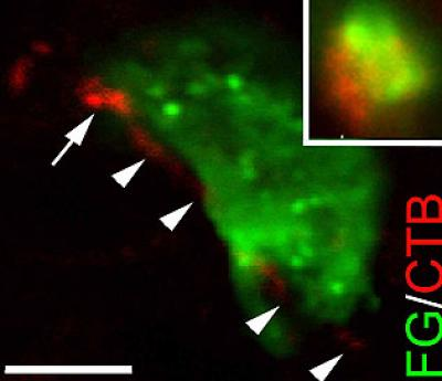 This image shows a target cell in the brain (green) contacted by an axon (red) regenerating into the brain from the spinal cord.