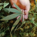 Conn. Considers Medicinal Use Of Marijuana