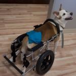 Bolt dog wheelchair-2