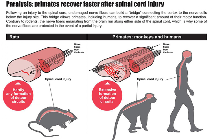 How humans monkeys recover from paralysis