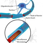 Neuron-with-oligodendrocyte-and-myelin-sheath