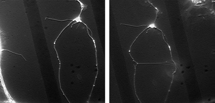 A before (left) and after (right) image of the experiment shows the new connection stretched between neurons. (Credit: Grutter group/McGill University)