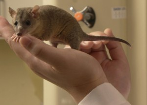 First marsupial to get genome sequenced, the laboratory opossum is valuable model for research in spinal cord injury repair.