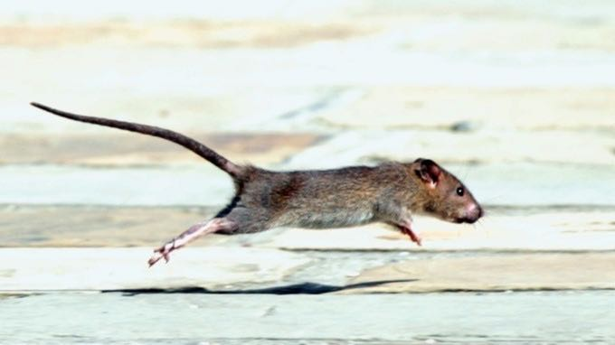 The rats had electrical implants placed in their hind legs. Credit: Empics