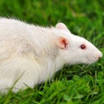 spinal-cord-injury-repair-mice